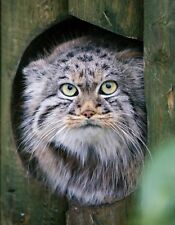 METAL MAGNET Gray Black Palla's Cat aka Manul Travel England MAGNET
