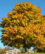 Sweet Gum Tree - Fall Color - Healthy Established Rooted - 1 Plant in Gallon Pot