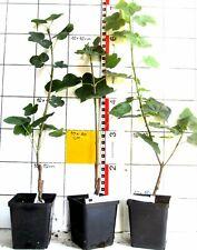 """Acer platanoides """"Tharandt""""  -   seltene Spitzahorn-Sorte,  besondere Blattform"""