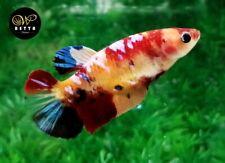 LIVE BETTA FISH FEMALE YELLOW NEMO GALAXY FANCY HALFMOON PLAKAD HMPK (PKF47)