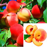 10 PCS Seeds Dwarf Bonanza Peach Tree Plants Bonsai Fruit Free Shipping 2019 New