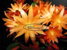 "'COMANCHE SPIRIT'  PLANT Orange Easter Cactus Rhipsalidopsis 'ONLY A FEW LEFT"""