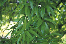 Chestnut Oak Tree - Live Healthy Established Rooted -1 Plant in Gallon Pot