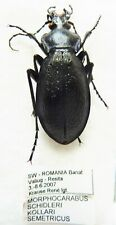 Carabus morphocarabus scheidleri kollari semetricus (female A1) ROUMANIA