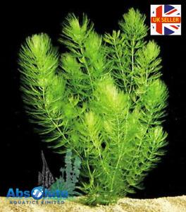 POTTED Hornwort LIVE PLANTS Pond & Aquarium Oxygenating Fish Tank Live Weed