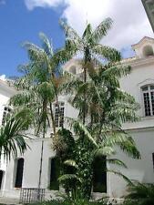 Euterpe oleracea | Assai & Acai Palm | 5 Seeds