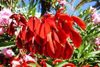 Die roten Blüten des Korallenstrauch ein Blütentraum wie im Märchen.