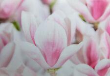 Magnolia soulangeana - winterharte Pflanze 130-160cm - Tulpenbaum