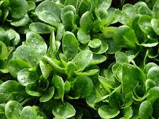 🥗 1.000 Samen Feldsalat Vit Salat Rapunzel Wintergemüse