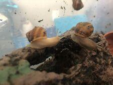 TWO (2) Live Pet Land Snail Hand Raised Pet, educational