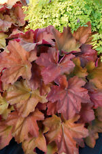 Heuchera SOUTHERN COMFORT peach rose coral bells shade foliage perennial plant