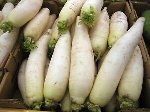6x Winter radish 'Munchner Bier' Plug Plants Vegetables Garden - Ready Now