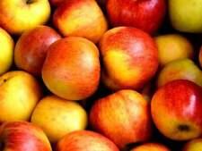 Graines de pommes GALA,produits de mon jardin, plante Bio,Cueilli et séché,à l'a