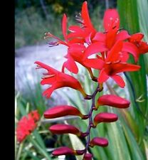 50+ Seeds Crocosmia Lucifer Stunning Red Flower Hardy Perennial Plant Montbretia