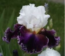 "1 Tall Bearded Iris ""Starring"" - Large Rhizome, size #1"