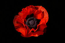 STUNNING RED POPPY FLOWER CANVAS PICTURE #853 MODERN FLORAL WALL HANGING ART A1