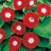 Morning glory Purpurea Red Flowers Seeds from Ukraine
