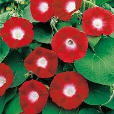 Morning glory Purpurea Red Flowers Seeds from Ukraine