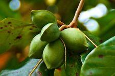 Terminalia Catappa Viable Seeds Almond Kottamba Garden Shade Tree Seeds