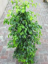 Indoor Plant -House or Office Plant -Ficus benjamina - Green Weeping Fig 1.8m