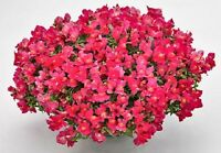 Snapdragon Seeds Candy Showers Rose 15 Multi Pelleted Seeds Trailing