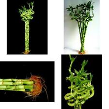 Lucky Bamboo Plant 10 Stalks of 18 Inches Spiral Indoor Houseplant Bset Gift NEW