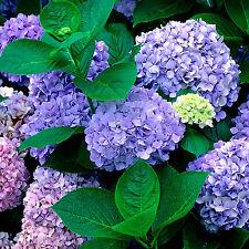 GUT  40 Stück Hortensie Blau Blume Samen Pflanzen Chinesische Garten Blumen