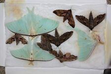 Insect Lepidoptera 9 Sphingidae Arctiidae spp lot Far East