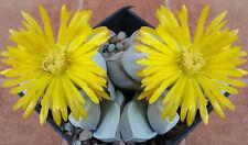 Lapidaria Margaretae Sh 558, living stones rare mesembs succulent seed -15 Seeds
