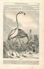 Flamant rose Phoenicopterus roseus Échassier Oiseau GRAVURE ANTIQUE PRINT 1835