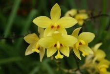 5 Bulbs Yellow Spathoglottis Ground Orchid  Flower Fresh Beautiful Rare Plants