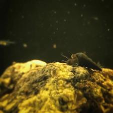 (5) Mini / Dwarf Black Rabbit Snails (Stenomelania Coarcata)