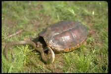 416088 común chasquido de tortuga matar agua marrón Serpiente A4 Foto Impresión