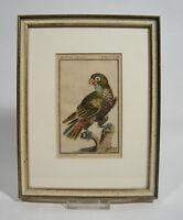 Originaler Kupferstich Der braune Papagey Buffon Frankreich ca. 1760 Papagei