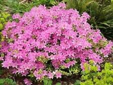 1L Pot Azalea Pink Mass Flowering Dwarf Compact Evergreen Shrub