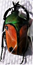 Tanzanian Flower Beetle Eudicella euthalia euthalia Pair FAST SHIPPING FROM USA