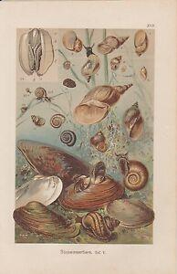 Süsswassertiere Muscheln Schnecken CHROMOLITHOGRAPHIE um 1900 Teichmuschel