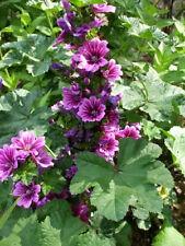 20 MAURITANIAN MALVA Sylvestris Mallow Flower Seeds