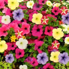 Petunien Mix Petunia hängend Balkon Garten Ampel Dauerblüher 150 Samen Nr.314
