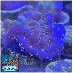"live coral Jedi Mind Trick Montipora (white polyps) ""coralSLover"""