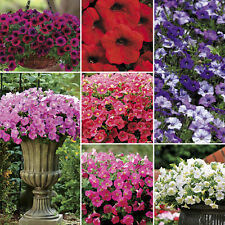 400 seeds Mixed Color Trailing Dwaft Petunia Flower