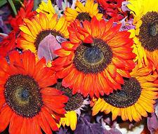 Sunflower Autumn Beauty Helianthus Annuus - 20 Seeds