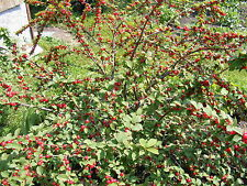 Prunus tomentosa NANKING CHERRY TREE Seeds!