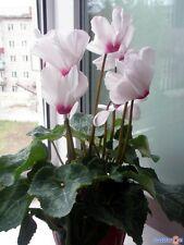 Cyclamen persicum grandiflora Anneli F1 Flower Seeds indoor from Ukraine