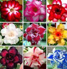 20PCS Kind Rare Desert Rose Mix Seeds Real Thailand Adenium Obesum Flower Bonsai