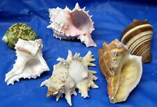 6 MEDIUM SEA SHELLS FOR HERMIT CRABS