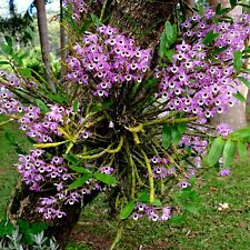 Dendrobium # NOBILE ORCHID # Stunning in Trees~1 CANE