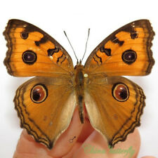 50 pcs wholesale lots unmounted butterfly Nymphalidae junonia almana A1 A1-