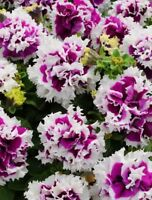 50 pcs/bag petunia seeds, double petals petunia flower seeds, perennial bonsai
