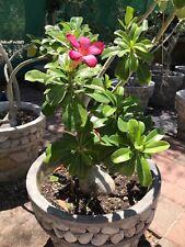 Adenium Obesum/Desert Rose Plant/Rosa Del Desierto